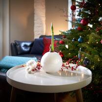 Amaryllis Bulb - White Ball
