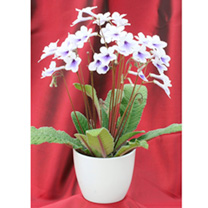 Streptocarpus Plant - Crystal Ice & Ceramic Pot