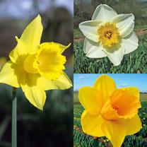 Daffodil (Cornish) Bulbs - Continuity Collection