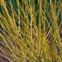 Cornus Stolonifera Flaviramea Bare Roots - 60/90cm