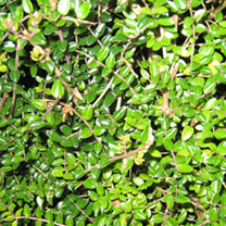 Lonicera nitida Bare Roots