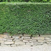 Lonicera nitida Bare Roots - 20cm+ x 25