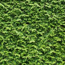 Cupressocyparis Leylandii Plants - 120/150cm