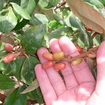 Elaeagnus x ebbingei Potted Plants - 20/40cm