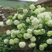 Viburnum macrocephalum Plant - Happy Fortuna