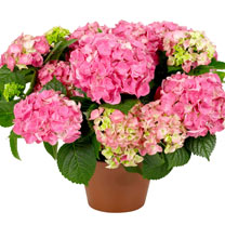 Hydrangea Plants - Mixed Hanging Basket