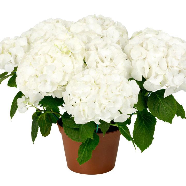 Hydrangea Plant - White Hanging Basket