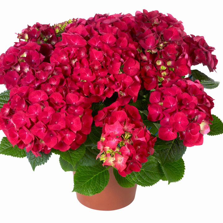 Hydrangea Plant - Red Hanging Basket