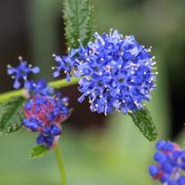 Ceanothus Plant - Blue Mound