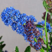 Ceanothus Plant - Concha