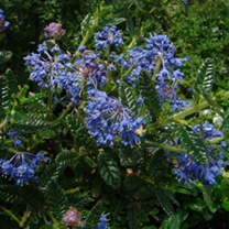 Ceanothus Plant - Puget Blue