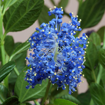 Ceanothus Plant - Thyrsiflorus Skylark