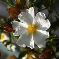Cistus Plant - Corbariensis