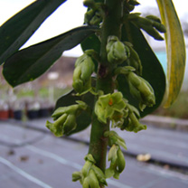 Daphne Plant - Laureola subsp. Philippi