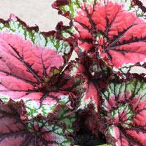 Begonia Plant - Satin Starburst