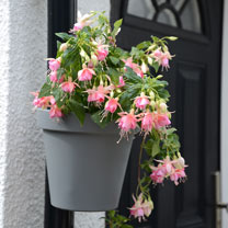 Create a bight colourful display to brighten up unsightly drainpipes with this great flowerpot and 2 Fuchsia Pink Panther plants. Fit to the drainpipe