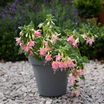Drainpipe Pot & Fuchsia Pink Panther