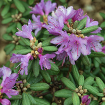 Rhododendron Plant - Impeditum