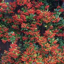 Pyracantha Plant - Orange Charmer