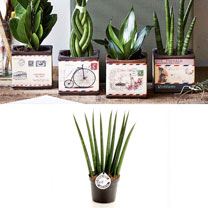 Airmail Pot + Free Sansevieria Cylindrica Fan 9cm Plant