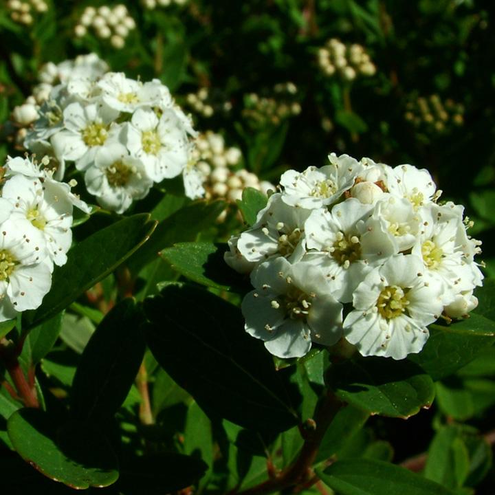 Spiraea Nipponica Snowmound Pruning Spiraea Plant Nipponica Snowmound