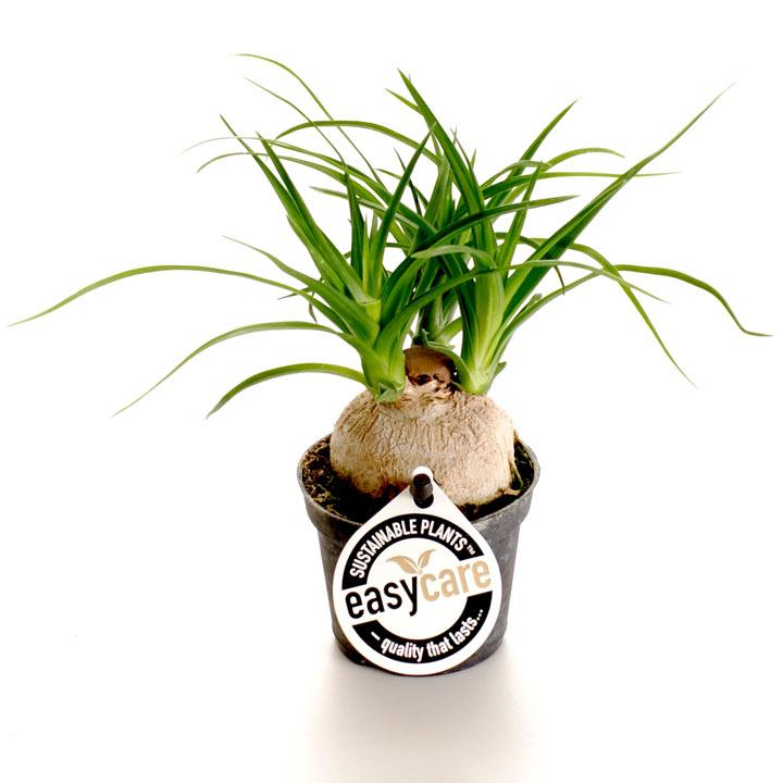 Beaucarnea Recurvata Plant