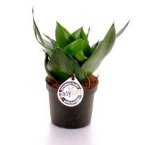 Sansevieria Trifacciata Black Jade Plant - 9cm