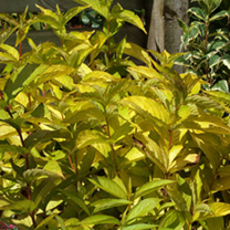 Weigela Plant - Rubidor