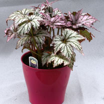An attractive Begonia with serrated, pink young foliage which becomes silver with age. The veins change from purple to green. Cane type. Height 41-50c