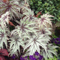 An attractive tall begonia. The maple shaped leaves have dark veins and edges which are covered in silver spots. Cane type. Grow in a bright spot with
