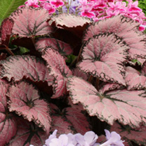 Begonia Plant - Pink Champagne