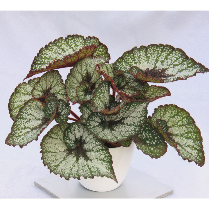 Begonia Plant - Rocheart