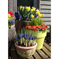 Pansy Plants/Daffodil Bulb Offer - Twin Pack