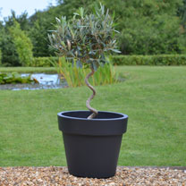 Twisted Stem Olive Trees + Grey Pots