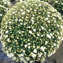 Chrysanthemum Plant - White