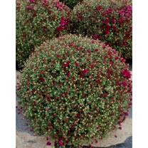 Chrysanthemum Plant - Purple
