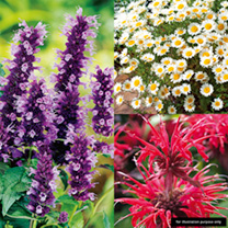 Perennial Scented Plants - Collection