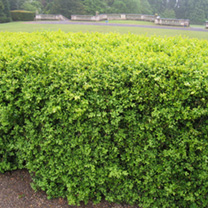 Buxus Sempervirens Potted Plants