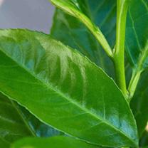Prunus laurocerasus Rotundifolia Bare Roots 50 80/100