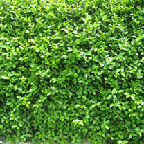 Ligustrum Ovalifolium Potted Plants - 120+cm x 10