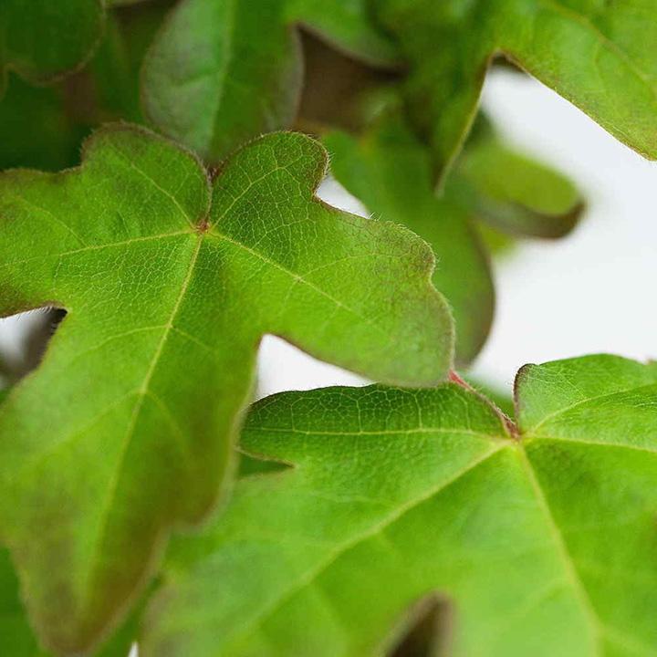 Acer campestre Potted Plants