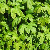 Acer campestre Plants - 10 x 2 Litre Pots