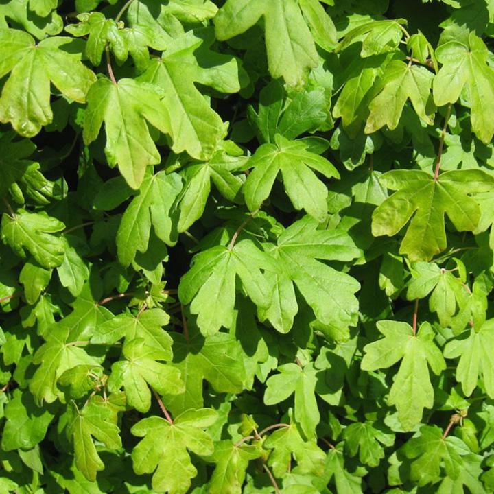Acer campestre Bare Roots