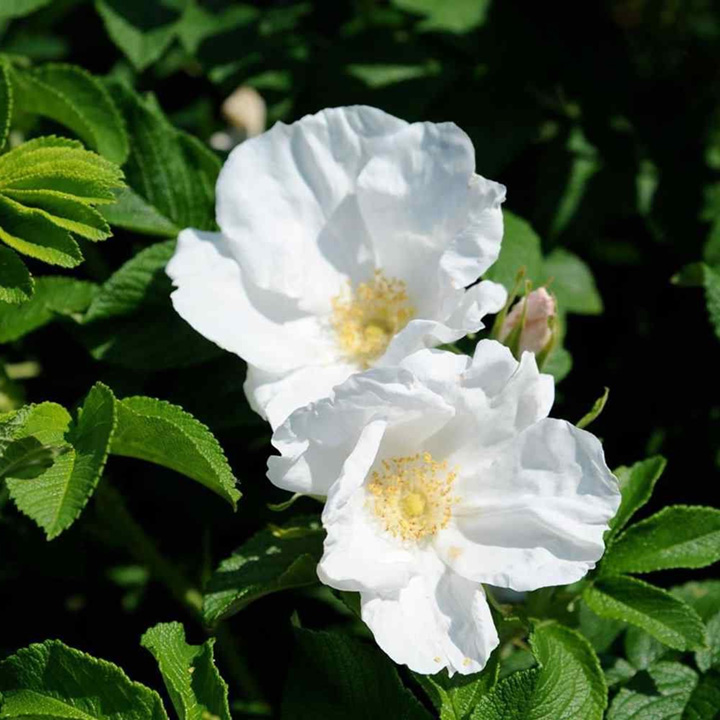 Rosa rugosa Potted Plants - Pink or White