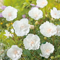 Hibiscus Plant - White Chiffon