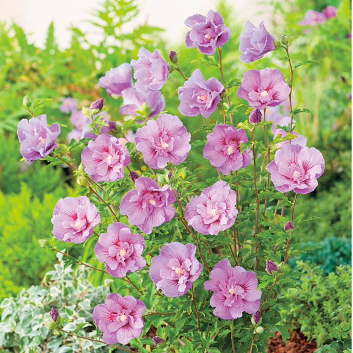Hibiscus Plant - Lavender Chiffon