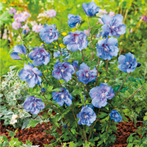 A deciduous upright shrub producing large double blue flowers that have a swirl of smaller petal in the centre. Flowering from August to October, hibi
