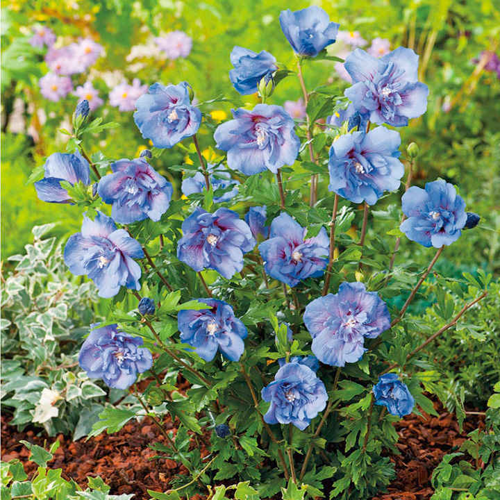 Hibiscus Plant - Blue Chiffon 3ltr - View All Flower Plants - Flower ...