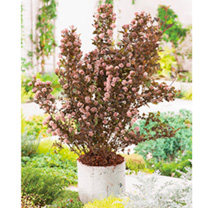 Physocarpus opulifolius Plant - Little Devil® First Editions®