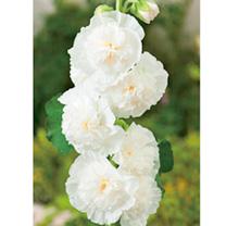 Alcea Plant - The Bride